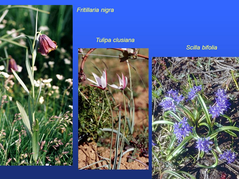 Tulipa clusiana Scilla bifolia Fritillaria nigra