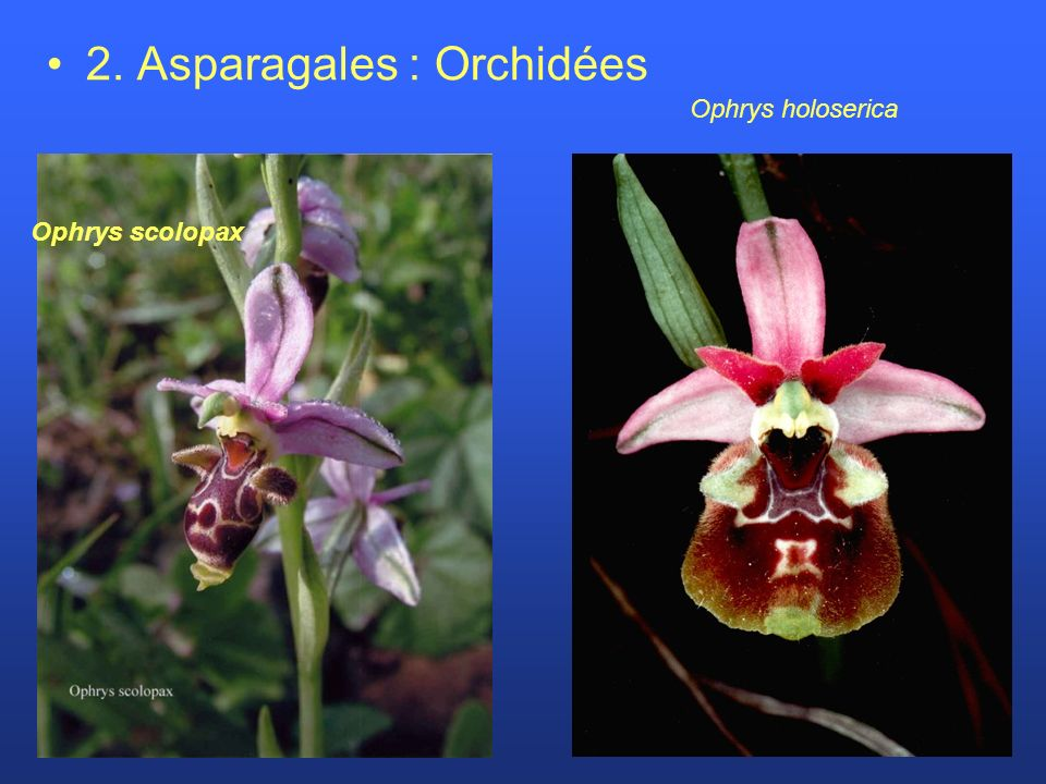 2. Asparagales : Orchidées Ophrys holoserica Ophrys scolopax