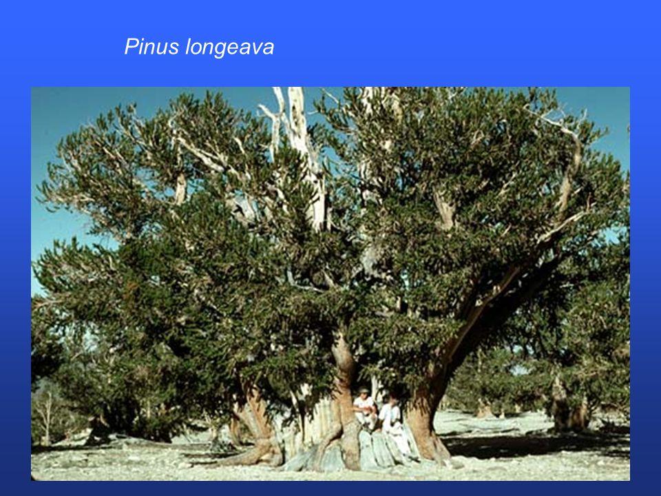 Pinus longeava