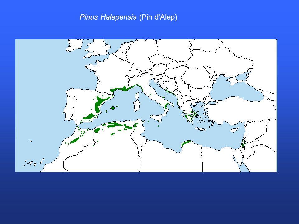 Pinus Halepensis (Pin dAlep)
