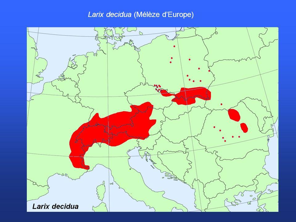 Larix decidua (Mélèze dEurope)