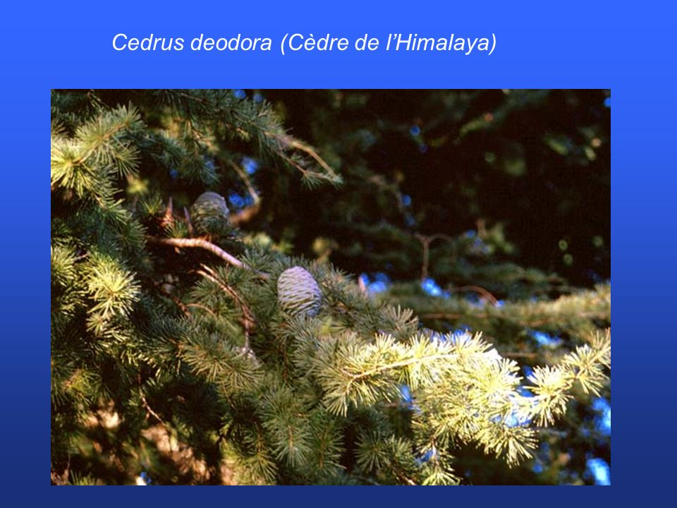 Cedrus deodora (Cèdre de lHimalaya)