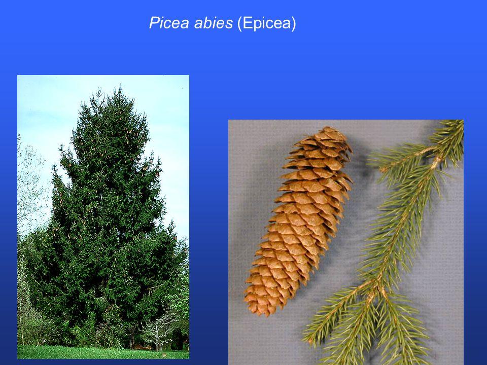 Picea abies (Epicea)