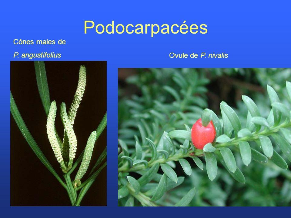 Podocarpacées Cônes males de P. angustifolius Ovule de P. nivalis