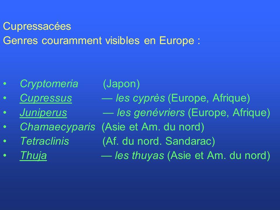 Cupressacées Genres couramment visibles en Europe : Cryptomeria (Japon) Cupressus les cyprès (Europe, Afrique) Juniperus les genévriers (Europe, Afriq