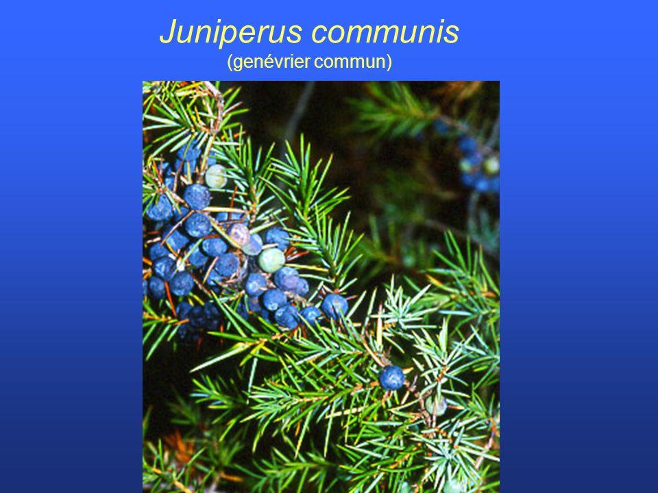 Juniperus communis (genévrier commun)