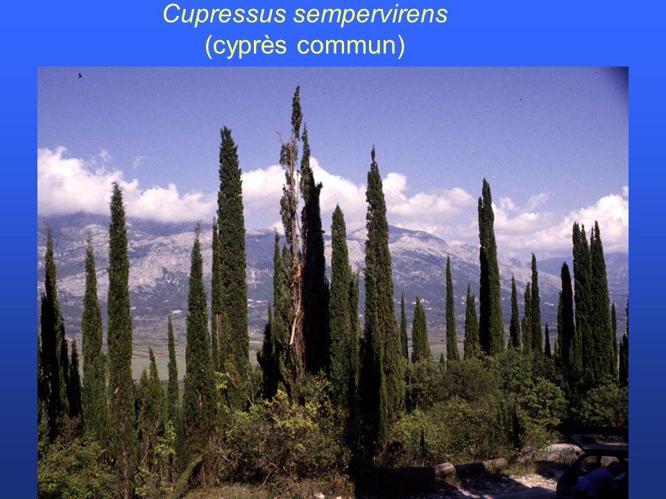 Cupressus sempervirens (cyprès commun)