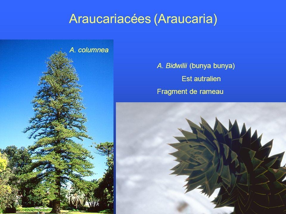 Araucariacées (Araucaria) A. columnea A. Bidwilii (bunya bunya) Est autralien Fragment de rameau
