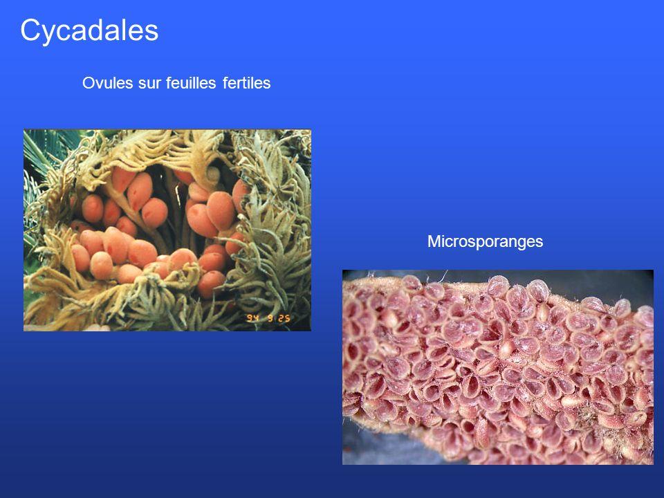 Microsporanges Cycadales Ovules sur feuilles fertiles