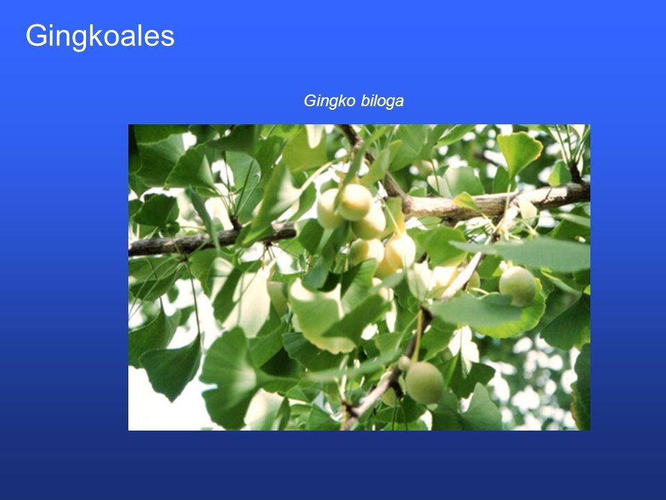 Gingkoales Gingko biloga