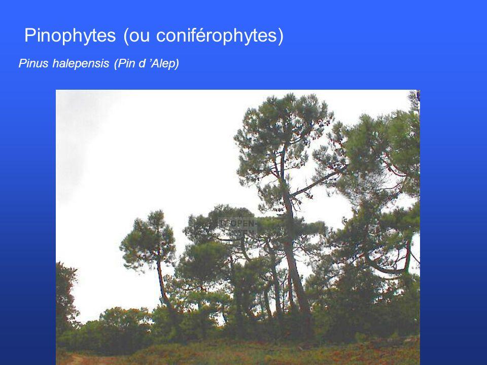 Pinophytes (ou coniférophytes) Pinus halepensis (Pin d Alep)