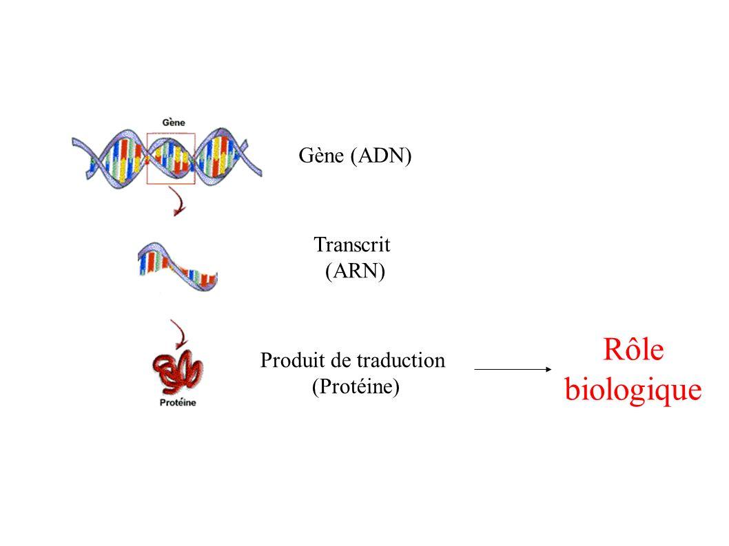 Gène (ADN) Produit de traduction (Protéine) Transcrit (ARN) Rôle biologique