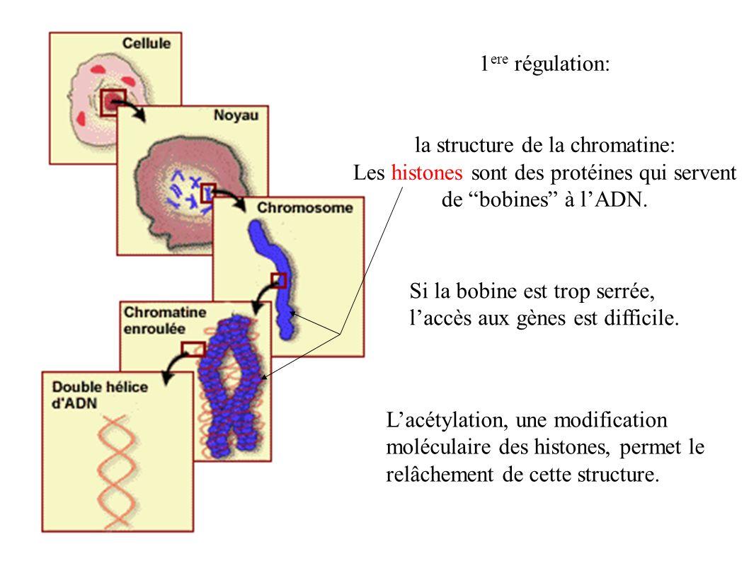 1 ere régulation: la structure de la chromatine: Les histones sont des protéines qui servent de bobines à lADN. Si la bobine est trop serrée, laccès a
