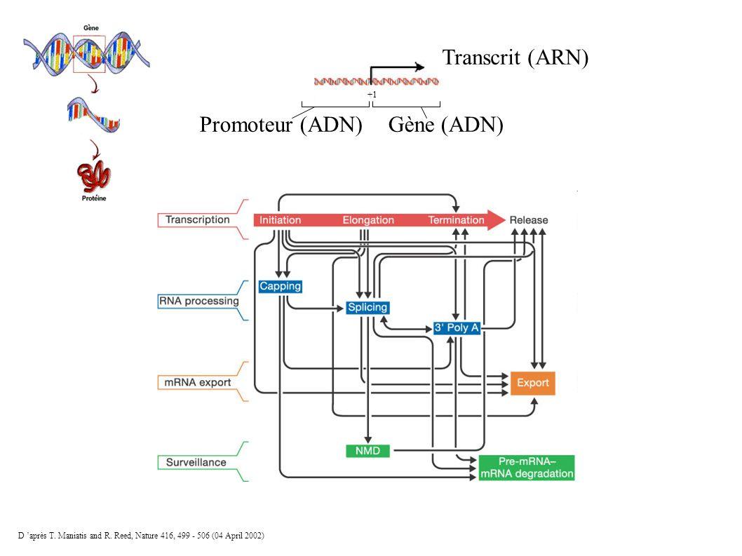 Transcrit (ARN) Gène (ADN)Promoteur (ADN) +1 D après T. Maniatis and R. Reed, Nature 416, 499 - 506 (04 April 2002)