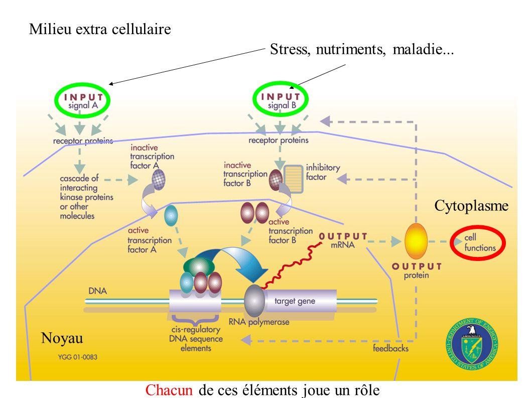 Milieu extra cellulaire Cytoplasme Noyau Stress, nutriments, maladie... Chacun de ces éléments joue un rôle