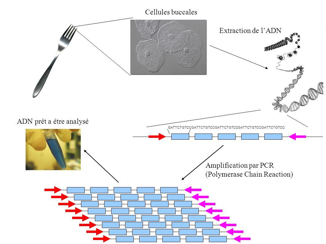 Cellules buccales GATTCTGTCC Amplification par PCR (Polymerase Chain Reaction) ADN prêt a être analysé Extraction de lADN