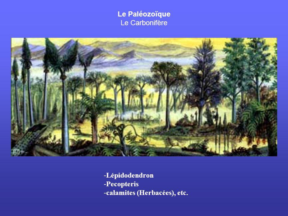 Le Paléozoïque Le Carbonifère -Lépidodendron -Pecopteris -calamites (Herbacées), etc.