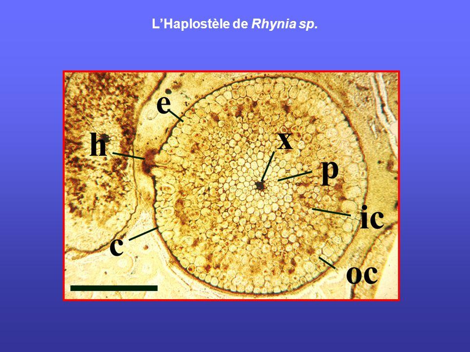 LHaplostèle de Rhynia sp.
