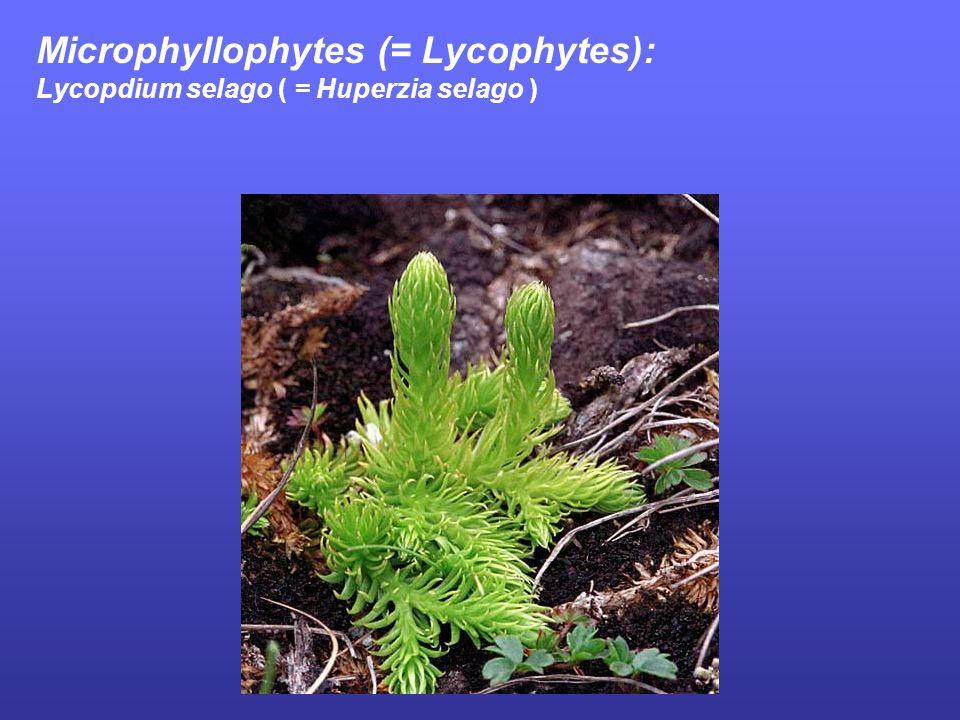 Microphyllophytes (= Lycophytes): Lycopdium selago ( = Huperzia selago )