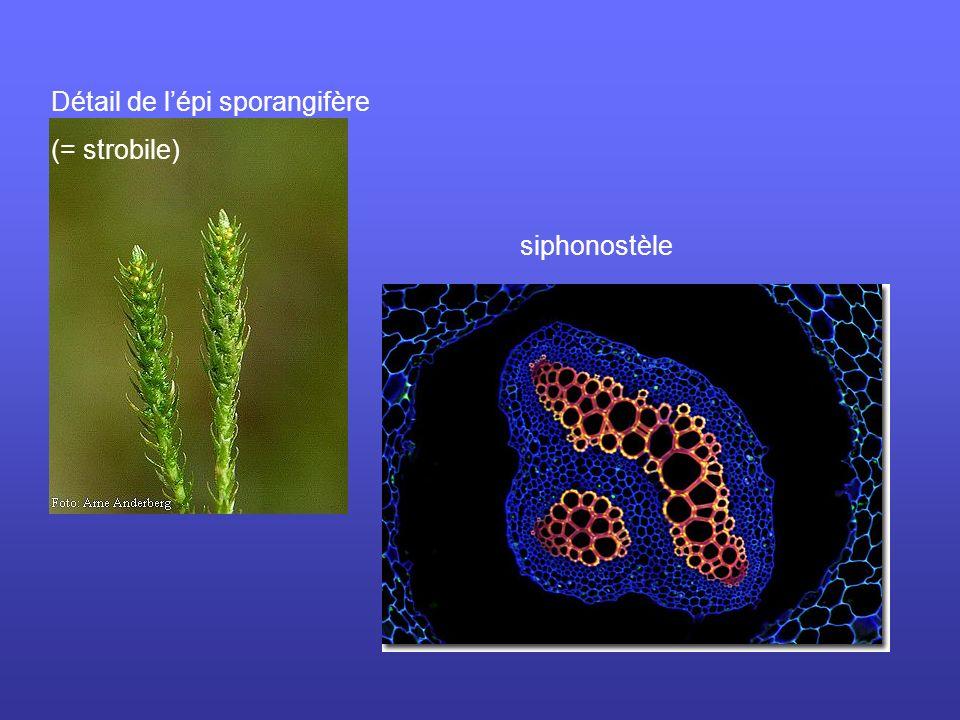 siphonostèle Détail de lépi sporangifère (= strobile)