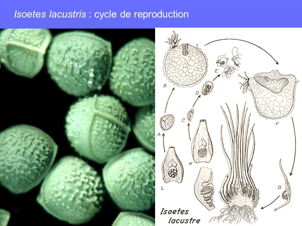 Isoetes lacustris : cycle de reproduction