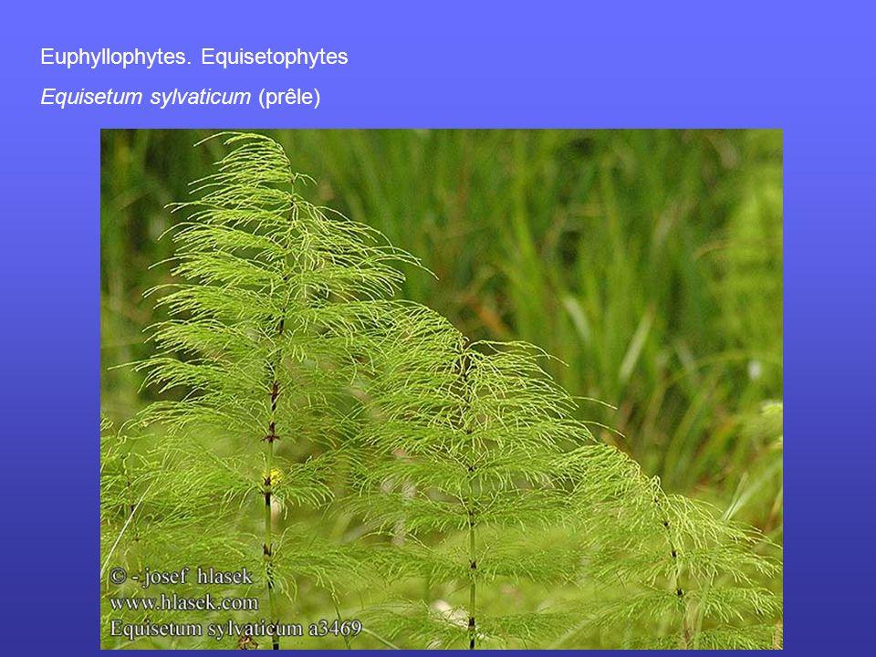 Euphyllophytes. Equisetophytes Equisetum sylvaticum (prêle)
