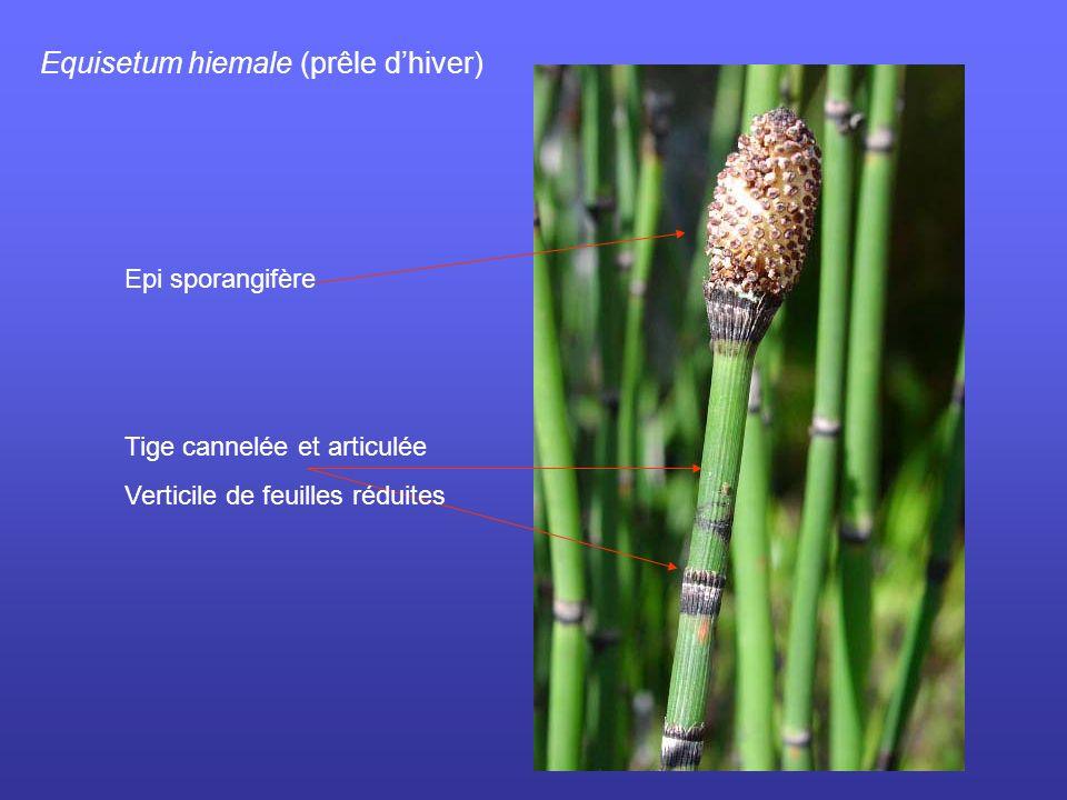 Equisetum hiemale (prêle dhiver) Epi sporangifère Tige cannelée et articulée Verticile de feuilles réduites