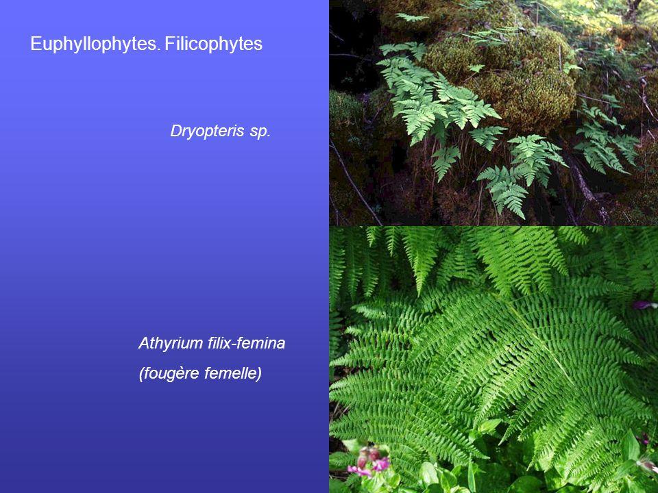 Euphyllophytes. Filicophytes Dryopteris sp. Athyrium filix-femina (fougère femelle)