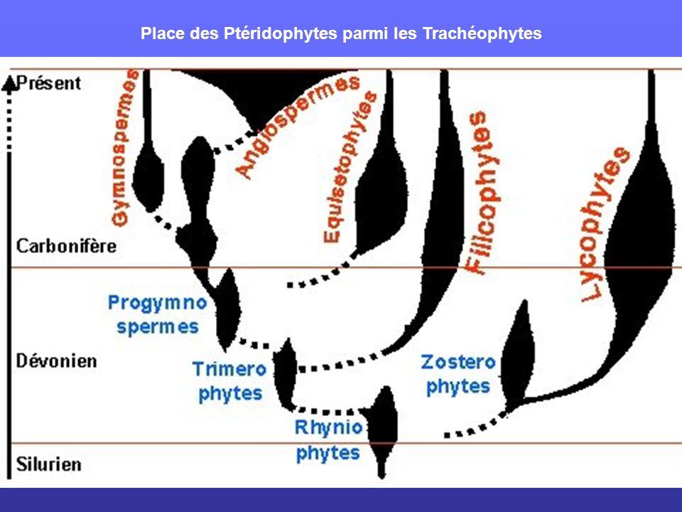 Les premiers trachéophytes : Rhynia major (Rhyniophytes) Rhizome rampant strobiles Ramifications dichotomiques