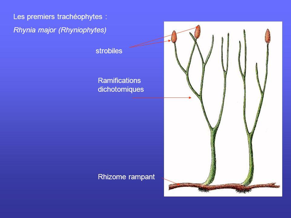 Lycopodes Allure générale du paysage Archaeopteris: Fougère géante Feuilles + tronc Le Paléozoïque Le Dévonien