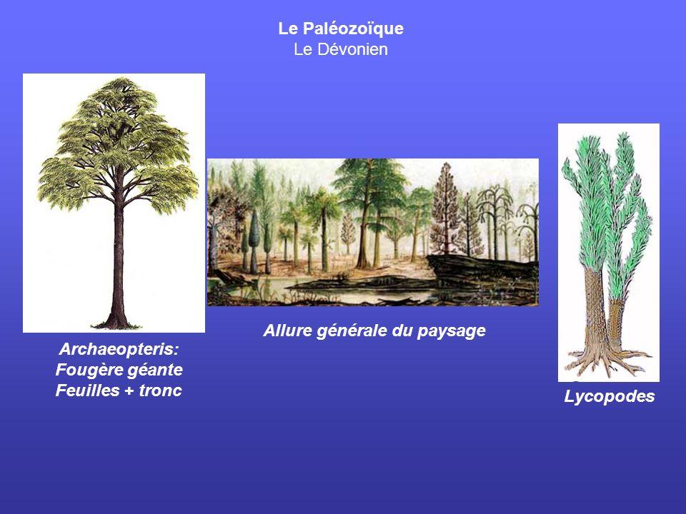 Le Paléozoïque Le Carbonifère Sigillaria: Licophyte 20m haut Forêt (fin Carbonifère)