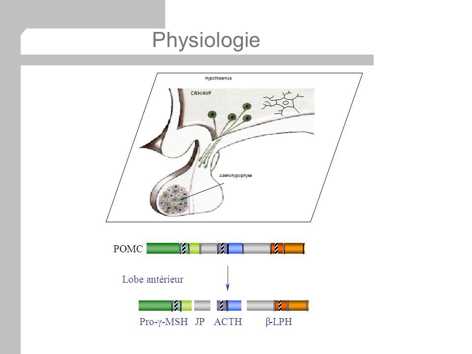 Physiologie Hypothalamus Adénohypophyse CRH/AVP JPACTHβ-LPHPro-γ-MSH POMC Lobe antérieur