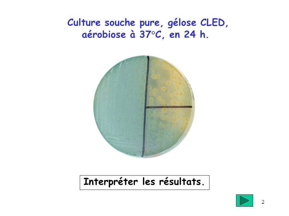 2 Culture souche pure, gélose CLED, aérobiose à 37°C, en 24 h. Interpréter les résultats.
