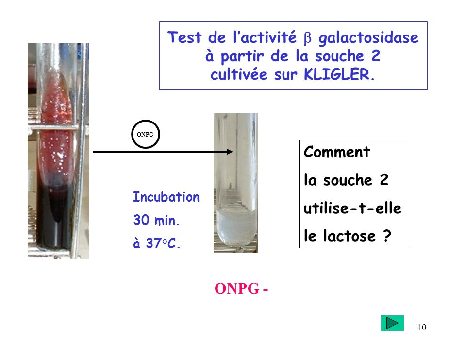 10 Test de lactivité galactosidase à partir de la souche 2 cultivée sur KLIGLER. Incubation 30 min. à 37°C. ONPG - ONPG Comment la souche 2 utilise-t-