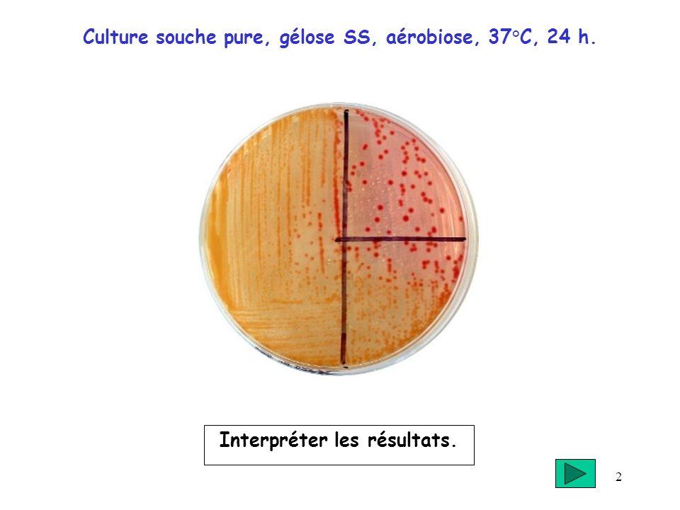 2 Culture souche pure, gélose SS, aérobiose, 37°C, 24 h. Interpréter les résultats.
