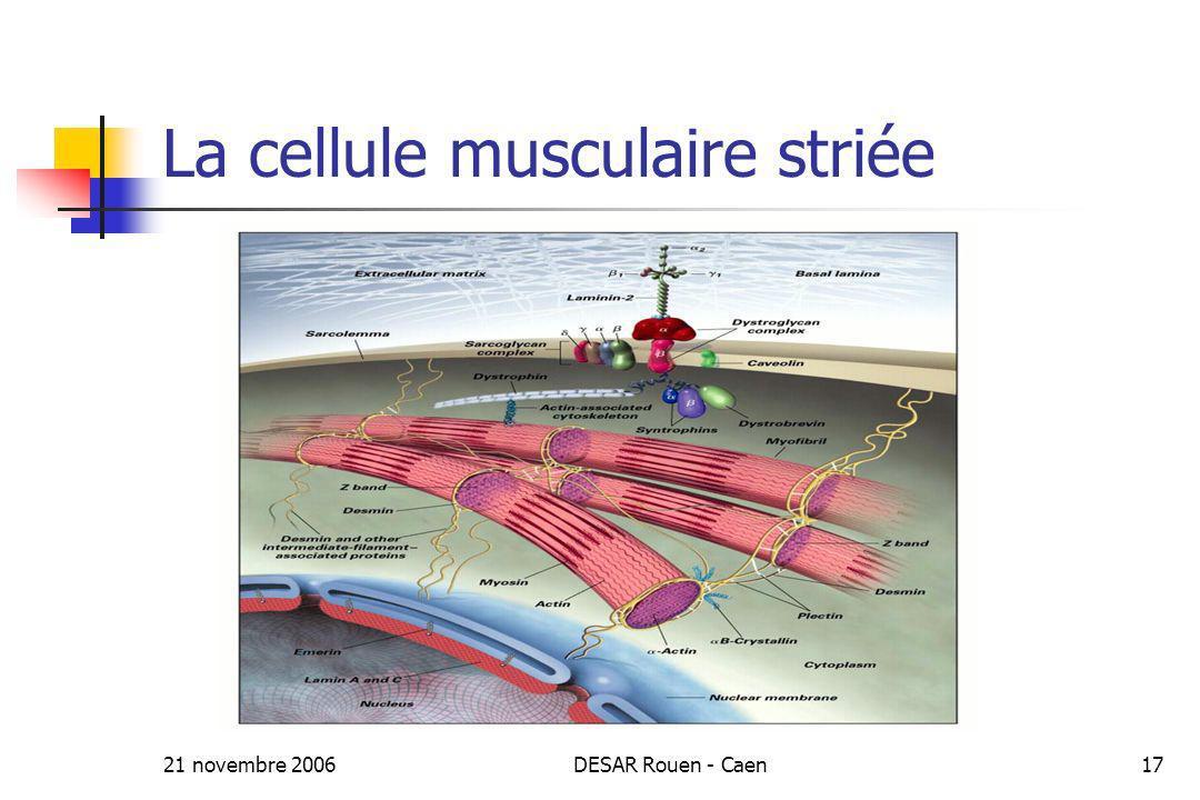 21 novembre 2006DESAR Rouen - Caen17 La cellule musculaire striée