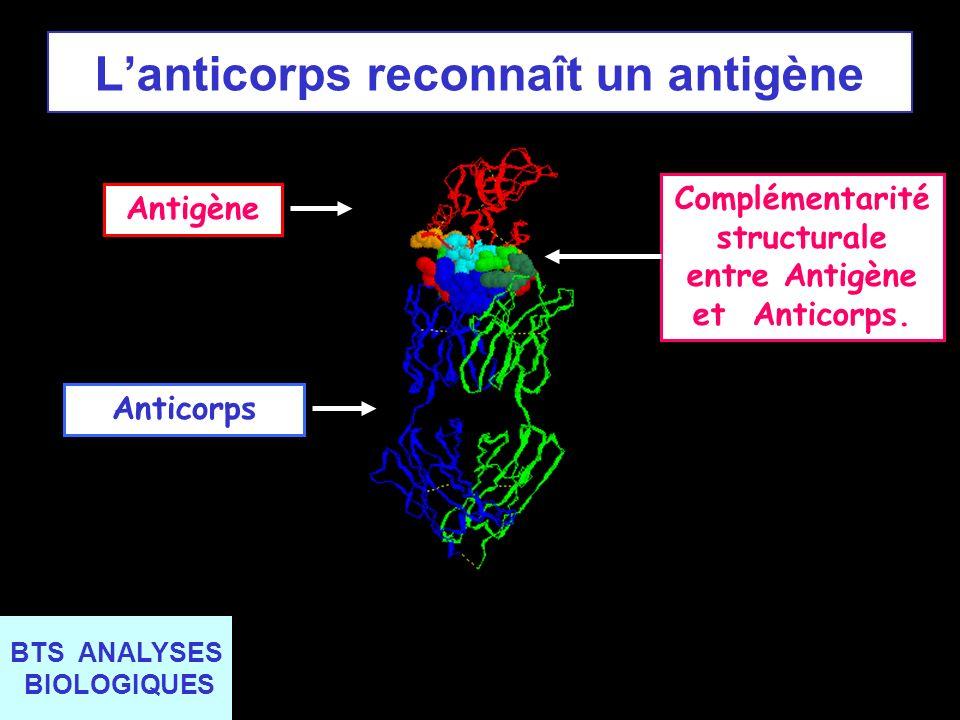 BTS ANALYSES BIOLOGIQUES Lanticorps reconnaît un antigène AnticorpsAntigèneComplémentarité structurale entre Antigène et Anticorps.