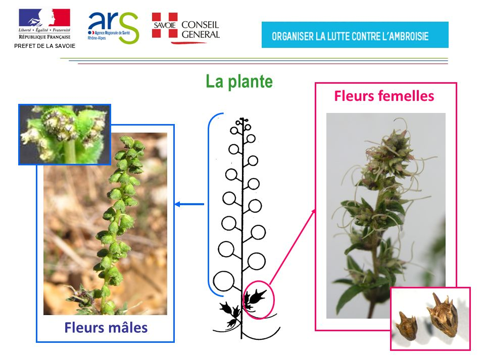 Fleurs femelles Fleurs mâles La plante PREFET DE LA SAVOIE