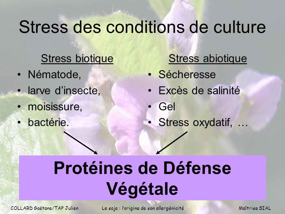 COLLARD Gaëtane/TAP Julien5 COLLARD Gaëtane/TAP Julien Le soja : lorigine de son allergénicitéMaîtrise SIAL Stress des conditions de culture Stress bi