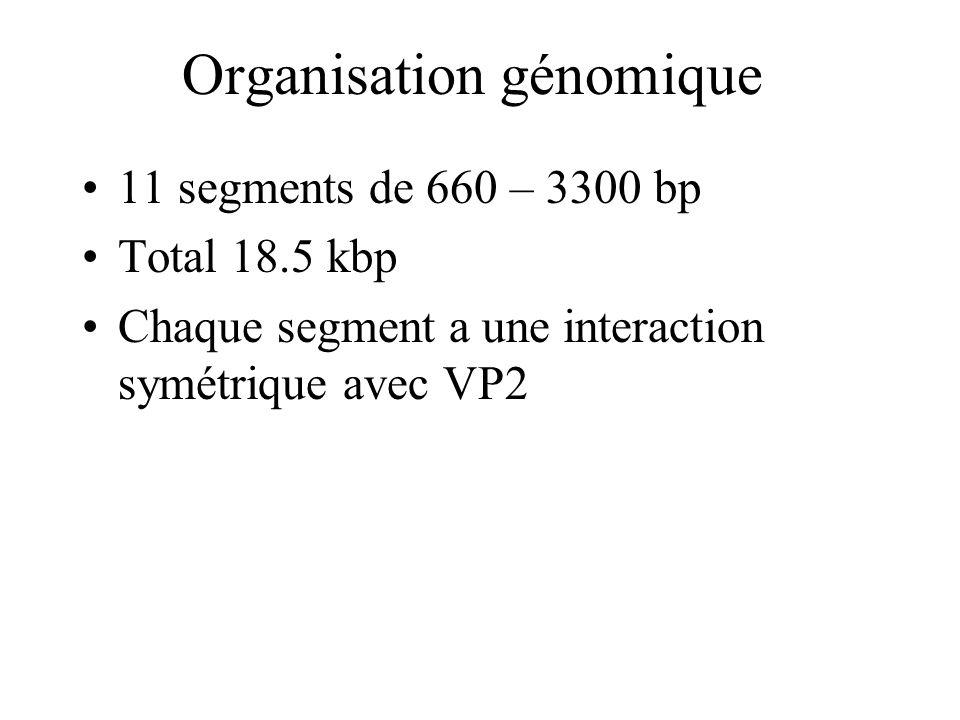 Organisation génomique 11 segments de 660 – 3300 bp Total 18.5 kbp Chaque segment a une interaction symétrique avec VP2