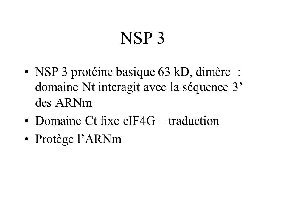 NSP 3 NSP 3 protéine basique 63 kD, dimère : domaine Nt interagit avec la séquence 3 des ARNm Domaine Ct fixe eIF4G – traduction Protège lARNm