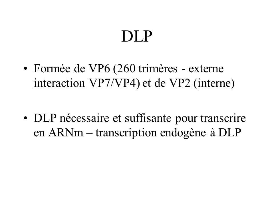 DLP Formée de VP6 (260 trimères - externe interaction VP7/VP4) et de VP2 (interne) DLP nécessaire et suffisante pour transcrire en ARNm – transcriptio