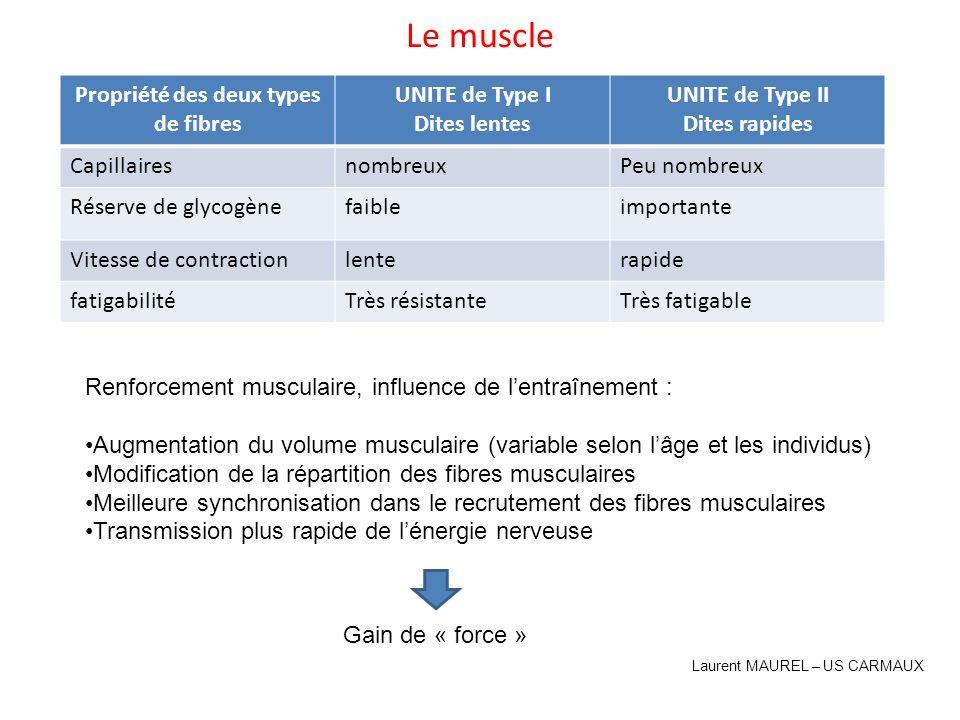 Le muscle Deux type de fibres musculaires Propriété des deux types de fibres UNITE de Type I Dites lentes UNITE de Type II Dites rapides Capillairesno