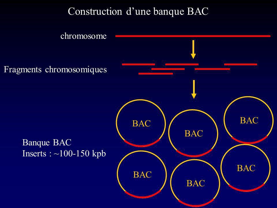chromosome Fragments chromosomiques BAC Banque BAC Inserts : ~100-150 kpb Construction dune banque BAC