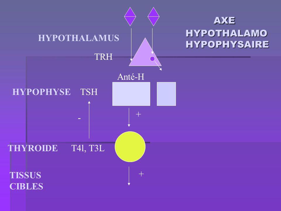 AXE HYPOTHALAMO HYPOPHYSAIRE AXE HYPOTHALAMO HYPOPHYSAIRE HYPOTHALAMUS HYPOPHYSE T4l, T3L TSH Anté-H TISSUS CIBLES TRH THYROIDE + + -