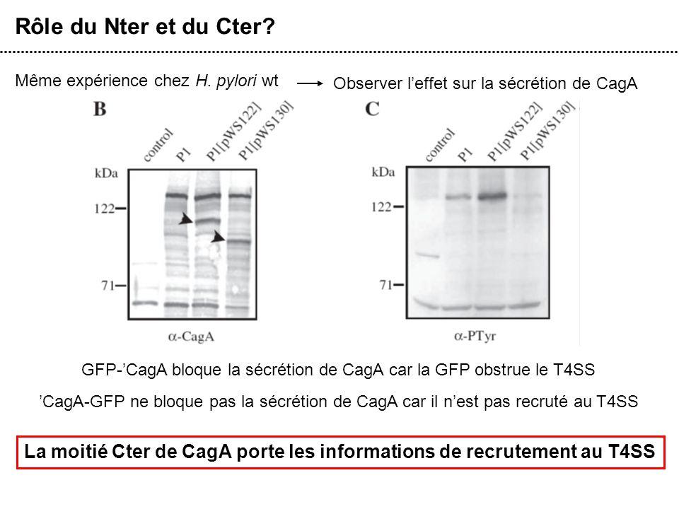 Rôle du Nter et du Cter? Même expérience chez H. pylori wt Observer leffet sur la sécrétion de CagA La moitié Cter de CagA porte les informations de r