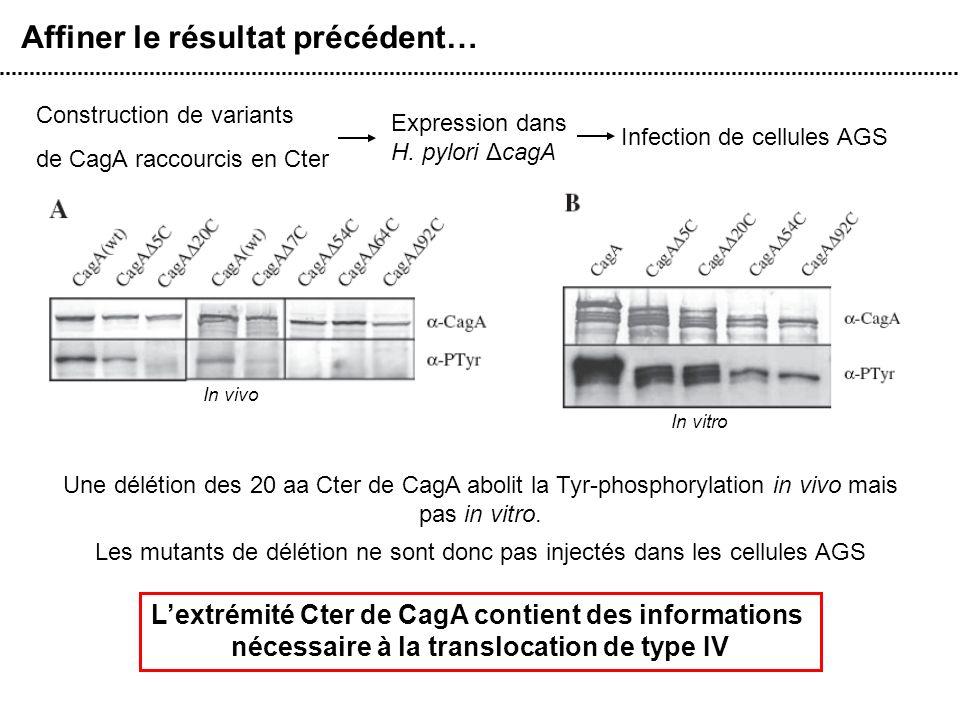 Affiner le résultat précédent… Construction de variants de CagA raccourcis en Cter Expression dans H. pylori ΔcagA Infection de cellules AGS Lextrémit