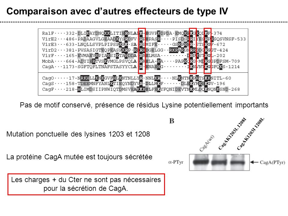 Comparaison avec dautres effecteurs de type IV Pas de motif conservé, présence de résidus Lysine potentiellement importants Mutation ponctuelle des ly