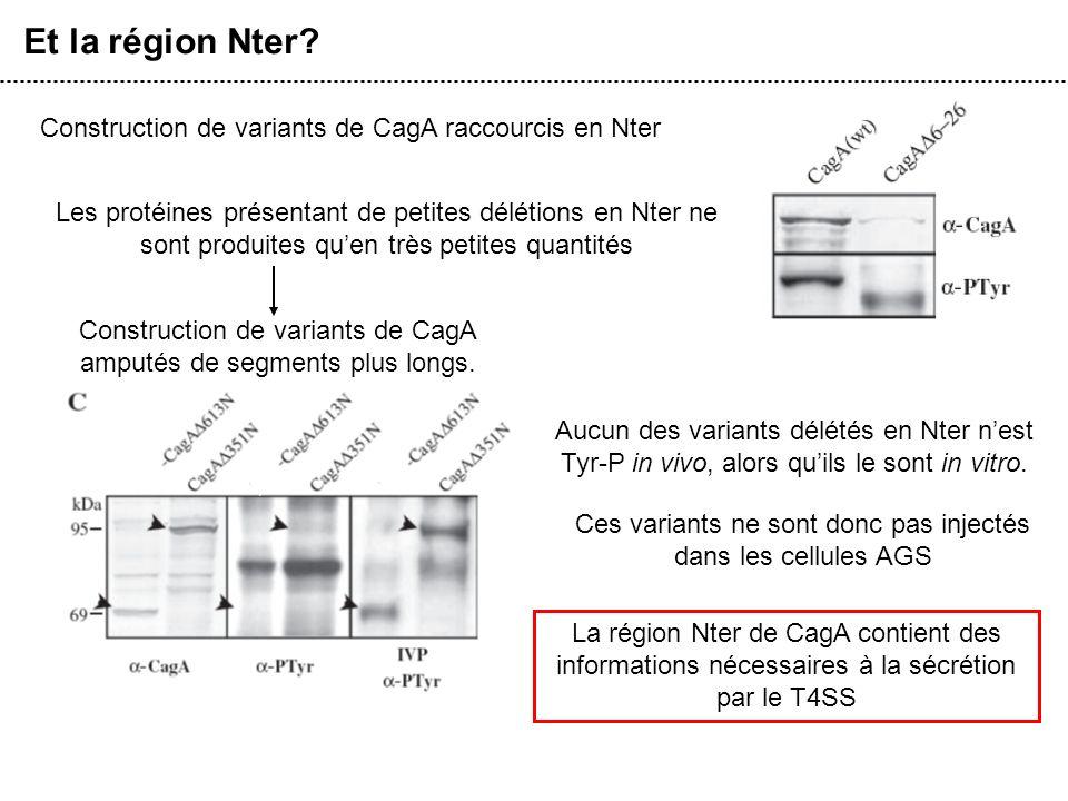 Et la région Nter? Construction de variants de CagA raccourcis en Nter Les protéines présentant de petites délétions en Nter ne sont produites quen tr