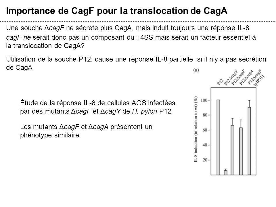 Importance de CagF pour la translocation de CagA Une souche ΔcagF ne sécrète plus CagA, mais induit toujours une réponse IL-8 cagF ne serait donc pas